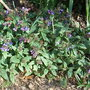 Pulmonaria officinalis