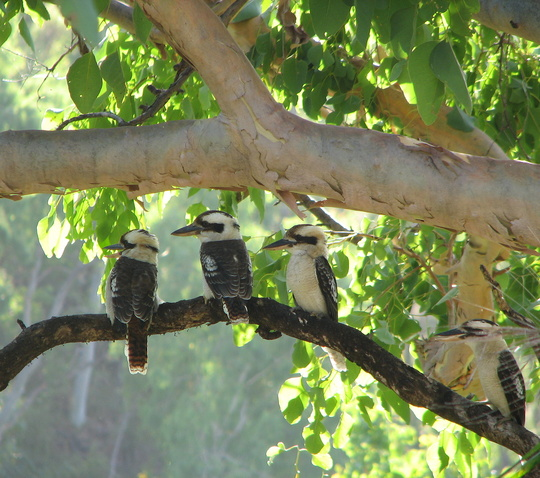 Kookaburras all in a row - my alarm clock this morning was extra loud!