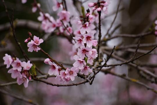 Almond Blossom (Prunus dulcis (Almendra))