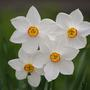 Pheasant&#x27;s Eye Daffodils (Narcissus poeticus (Poet&#x27;s Daffodil))