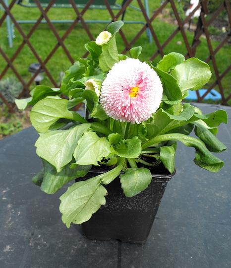 Bellis Daisy From Flower Show :) (Bellis perennis)