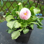 Bellis Daisy From Flower Show :) (Bellis perennis)