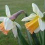 Narcissus 'Jingle Bells' (Narcissus 'Jingle Bells')