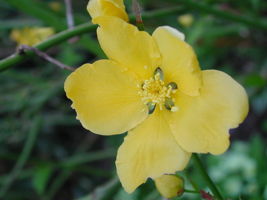 Kerria japonica (Kerria japonica (Japanese rose))