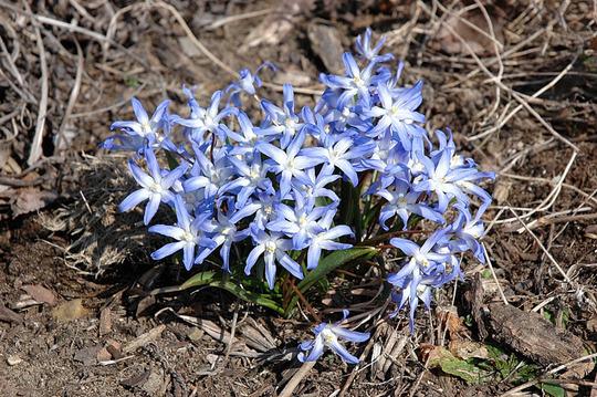 Bulbs (Chionodoxa luciliae (Glory of the snow))