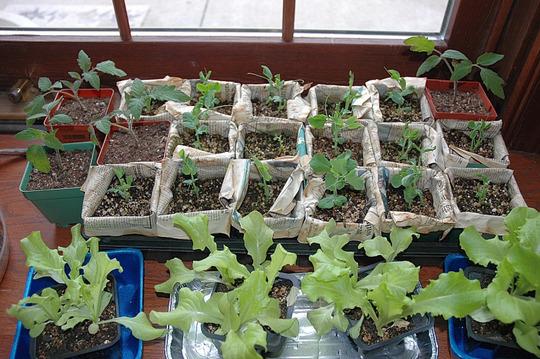Indoors Seedlings