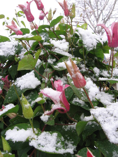 Nov 8 , 2008 First snowfall (Clematis texensis (Scarlet Clematis))