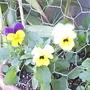 Violas__Pale_yellow___Purple___yellow__on_balcony_2008-11-22.jpg