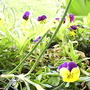 Violas on balcony 2009-03-29 009