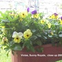Violas_on_balcony_2009_04_07_003