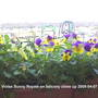 Violas_on_balcony_2009-04-07_004.jpg