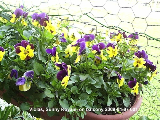 Violas on balcony 2009-04-07 008.jpg