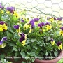 Violas_on_balcony_2009_04_07_008