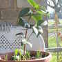 Camelia_dr_king_on_balcony_2009_02_21_001