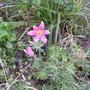 A  pink flower!