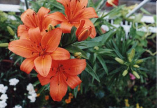 orangecoloured lilies (Lilium umbellatum)