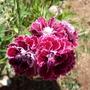 Dianthus_red_wwhite_trim