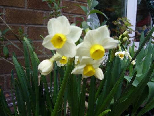 Narcisus 'Avalanche' (Narcissus Avalanche)