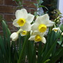 Narcisus 'Avalanche' (Narcissus Avalanche)