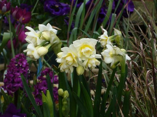 Cheerfulness (Narcissus Cheerfullness)