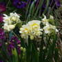 Cheerfulness (Narcissus Cheerfullness)