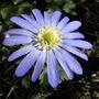 windflower (Anemone blanda (Anemone))