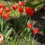 Ballerina tulips (Tulipa)