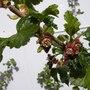 jostaberry (Ribes nidigrolaria)