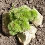 fern leaved peony getting bigger (Paeonia tenuifolia)