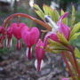 'gold heart' dicentra spectabilis blooming on the 27th of March '07 ('gold heart' dicentra spectabilis)