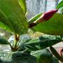 Brazilian Jasmine (Mandevilla sanderi)