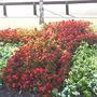 Bed_of_Begonias_Riverside_Park_H_don_05-08-06__Small_.jpg