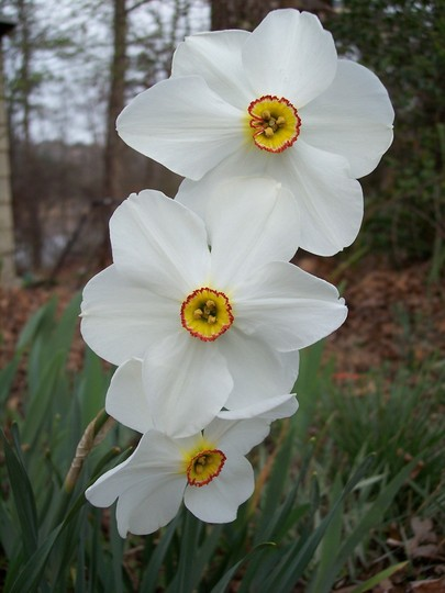 daffodills (narcissus poeticus recurvus)