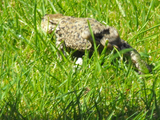 Spotted this fella dashing accross the lawn a lunch time