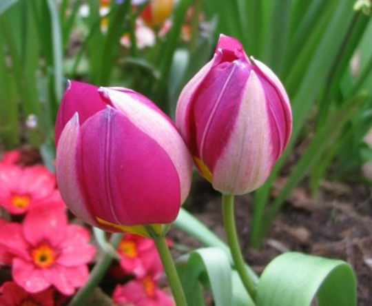 Pulchella (Tulipa acuminata)