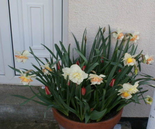 A garden flower photo (Narcissus)