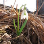 snow drop (Galanthus nivalis (Common snowdrop) leucojum aestivum)