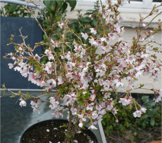 Kojo-no-Mai (Prunus)