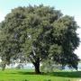 Tree_quay_meadow_bosham