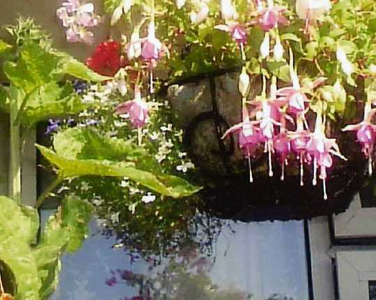 Hanging_fuschias_on_balcony_007.jpg