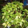 Iresine herbstii 'Aureoreticulata' (Iresine herbstii 'Aureoreticulata')