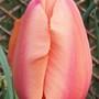 Tulip 'Apricot Beauty' (Tulipa)