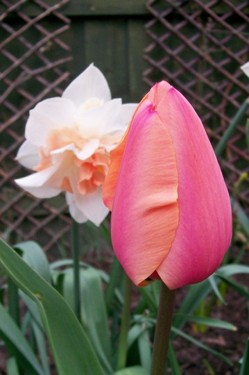 A perfect Duo Narcissus 'Replete' & Tulip ' Apricot Beauty' (Tulipa)