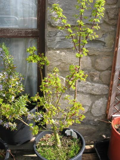 shishigashira april (Acer palmatum (Japanese maple))