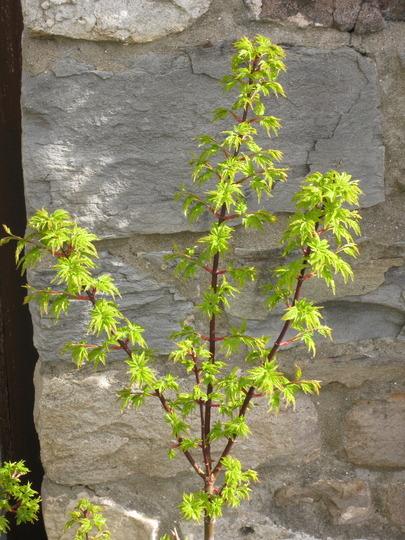 shishigashira (Acer palmatum (Japanese maple))