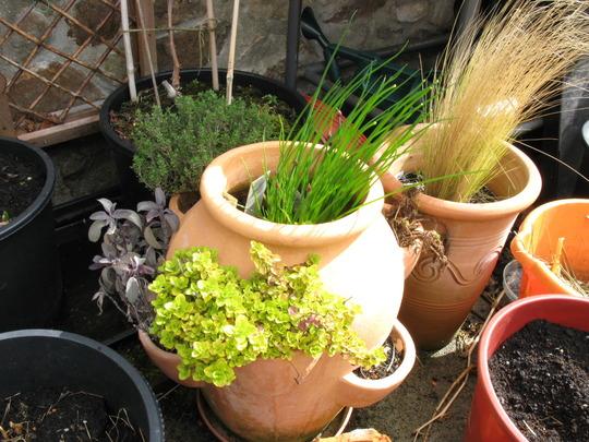 pot of herbs in april