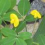 Arachis pintoi  (Arachis pintoi Fabaceae (Leguminosae))