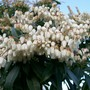 Pieris in flower (Pieris japonica (Lily of the valley bush))