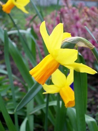 Jetfire (Narcissus cyclamineus (Daffodil))