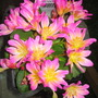Lewisia from Wisley